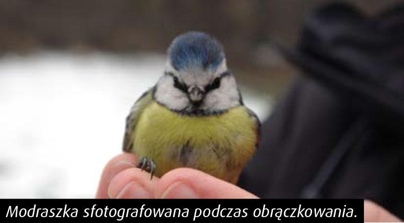 ptaki_drwinki_01