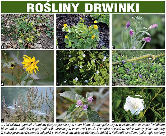 flora_drwinki_01